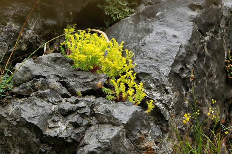 yellow wildflower growing out of a rock
